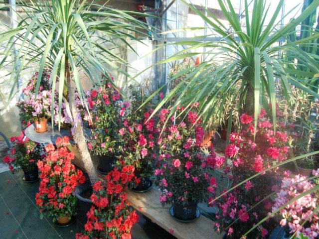 fleurs_colorées_plantes_intérieurs_ballet_Besançon