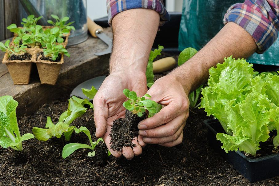 Jardinier entrain de replanter salade