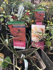 Plants roses Ballet