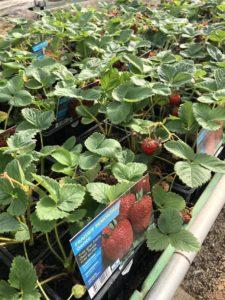 Plants fraises