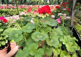 geraniums-pied-mere-ballet