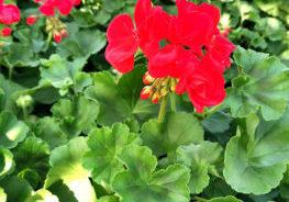 geraniums-pot-ballet